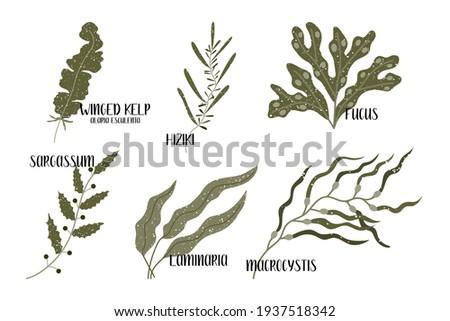 Set of edible seaweeds. Brown algae or Phaeophyceae. Fucus, Laminaria, Hiziki, Sargassum, Macrocystis, Winged kelp, Alaria esculenta. Sea vegetables. Vector flat illustration, isolated on white Stock photo ©
