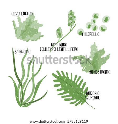 Set of edible seaweeds. Green algae. Sea vegetables. Umi budo, Caulerpa lentillifera, Chlorella, Wakame, Undaria, Monostroma, Ulva lactuca, Spirulina. Vector flat illustration, isolated on white Zdjęcia stock ©