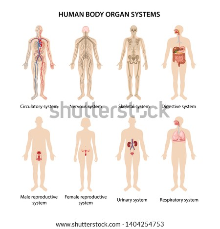 Set of eight systems of organs of the human body: circulatory, nervous, skeletal, digestive, male reproductive, female reproductive, respiratory and urinary systems. Anatomical vector illustration.
