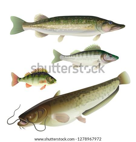 Set of freshwater predatory fish. Pike, zander, perch, catfish. Vector illustration isolated on white background Сток-фото ©