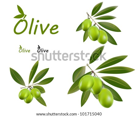 Set of green olive branches and o logo for olive oil or anni olive product.