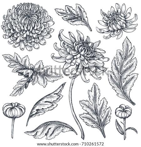 set of hand drawn chrysanthemum