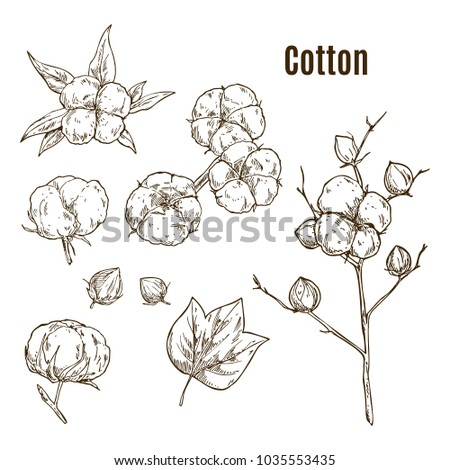 Set of hand drawn sketches of cotton bud or flower, leaf. Plant twig or stem with floral boll in blossom. Fluffy staple fiber or fibre on branch. Fabric and textile, botany and cultivation,agriculture