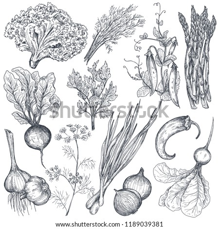 Set of hand drawn vector farm vegetables and herbs in sketch style. Asparagus, onion, pea, pepper, beet, garlic, herbs, fennel. Organic graphic vegetarian objects for restaurant menu, grocery market