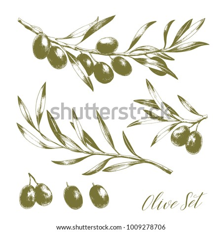 Set of hand drawn vector olive branches. Engraving illustration. Isolated on white background.