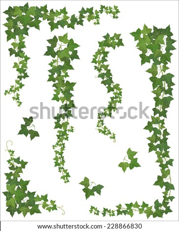 set of hanging branches of ivy