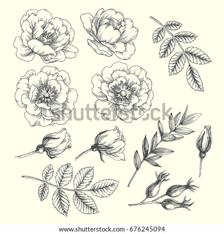 set of hip rose flowers  buds