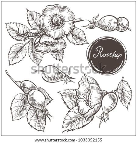 set of hip rose flowers  buds