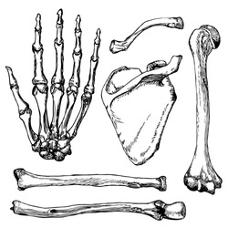 Set of human hand bones with scapula and collarbone. Hand drawn vector illustration. Isolated on white.