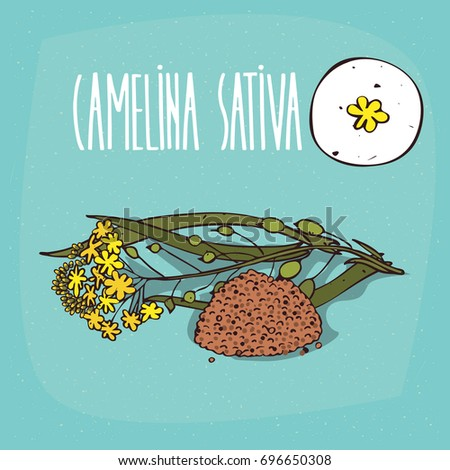 Set of isolated plant Camelina sativa flowers herb with leaves, seeds, Simple round icon of False flax on white background, Lettering inscription Camelina sativa. Vector illustration