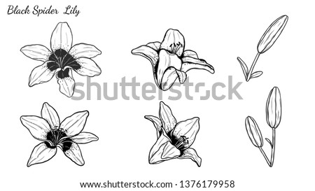 set of lily vector by hand