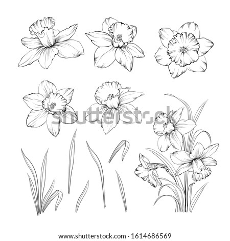 set of line drawing narcissus