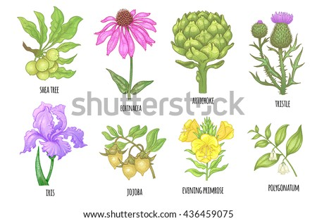 set of medical herbs shea tree
