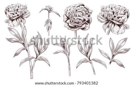 set of peony  brown  sepia