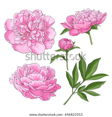 Set of peony flowers, bud, leaves, hand drawn sketch style vector illustration on white background. Realistic hand drawing of peony flowers, bud, leaves, sketch style botanical illustration