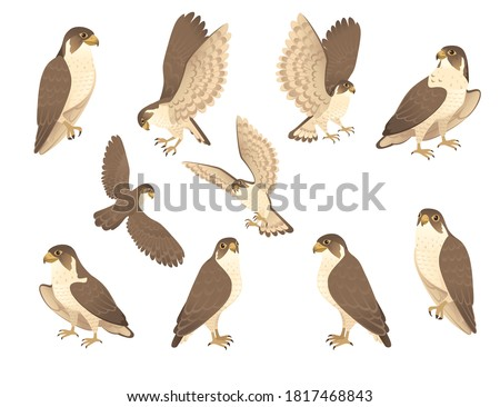 Set of predatory bird cute adult falcon cartoon animal design birds of prey character flat vector illustration isolated on white background Stock photo ©