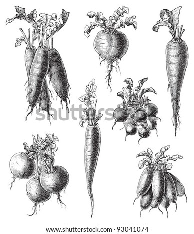 Set of radish - vegetable / vintage illustration from Meyers Konversations-Lexikon 1897