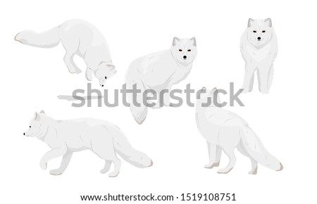 Set of realistic arctic foxes. Arctic fox stands, runs, hunts, jumps in the snow. Arctic fox with winter coloration of fur. Arctic animals. Vulpes lagopus, white, polar or snow fox. Vector
