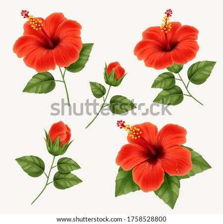Set of realistic beautiful hibiscus flower with buds and leaves. Vector illustration with hibiscus flower
