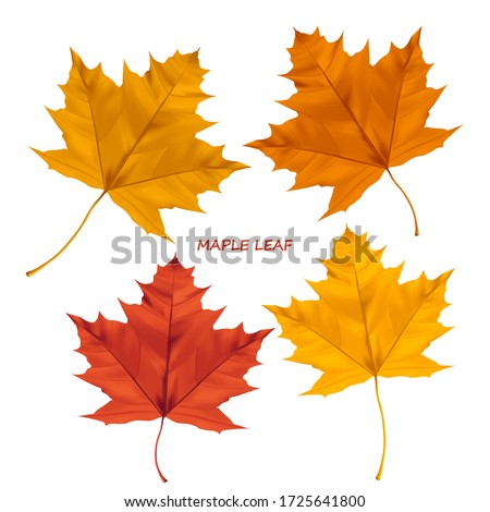 Set of realistic maple leaves isolated on a white background. Autumn maple tree leaf for the design of greeting cards, holiday banners, and posters.