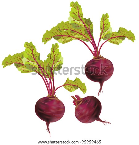Set of realistic vegetables beets with green leaves isolated on white background, vector