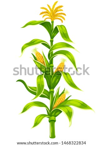 Set of ripe maize corncobs with yellow corns ears and green leaves on plant stem set, vegetable isolated on white transparent background. Ripe corn vegetables organic food. Eps10 vector illustration.