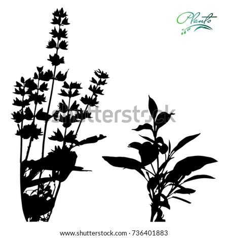 set of sage flowers on stems