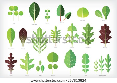 set of salad greens vector