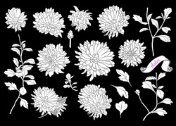 Set of silhouettes of asters.Linear vector illustration of aster flowers, buds, stems and leaves. Isolated elements in sketch style