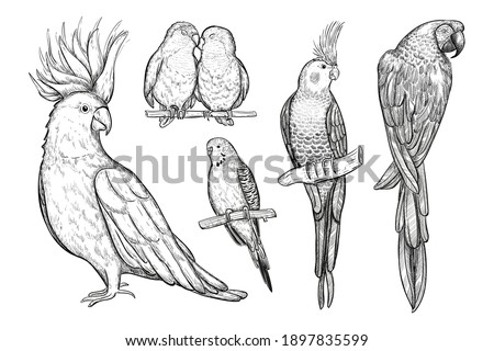 Set of sketch tropical parrots vector illustration. Collection of parrots, birds sitting on branch isolated on white. Hand drawn black and white exotic birds set. Foto stock ©