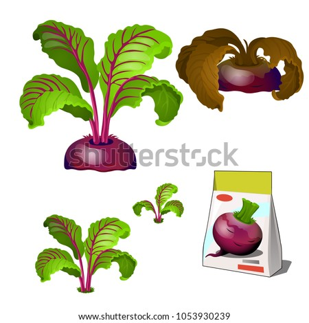 Set of stages of life of a agricultural plant beet isolated on white background. Paper packaging for storage of seeds. Vector cartoon close-up illustration.