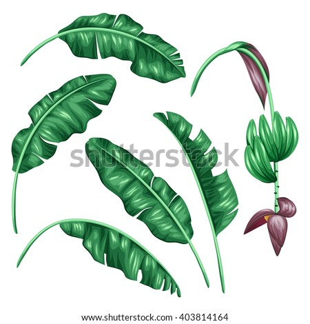Set of stylized banana leaves. Decorative image with tropical foliage, flowers and fruits. Objects for decoration, design on advertising booklets, banners, flayers.