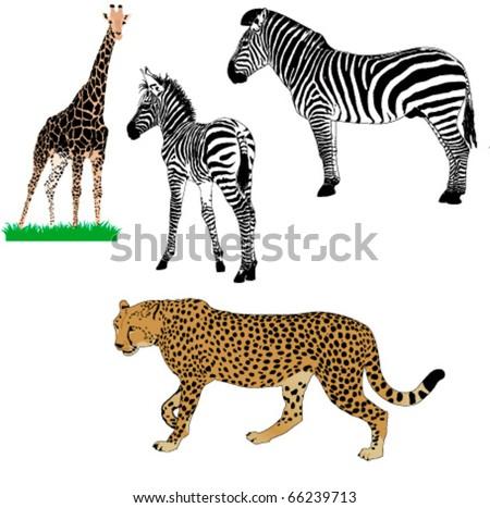 set of vector African animals : zebras, girafe, cheetah - stock vector