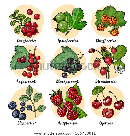 set of vector berries and