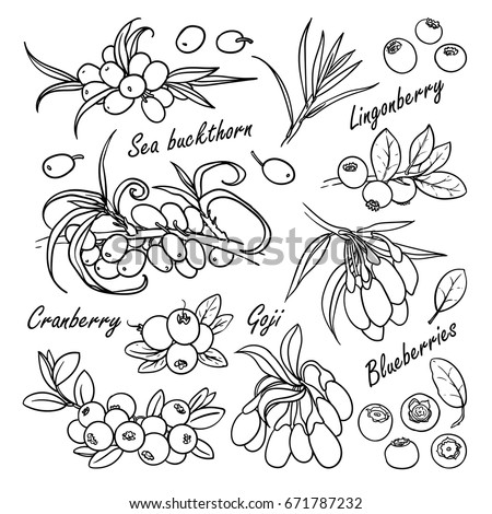 Set of vector berries: sea buckthorn, lingonberry, cranberry, goji, blueberry. Hand drawn collection for design, isolated on white. Black lines sketch