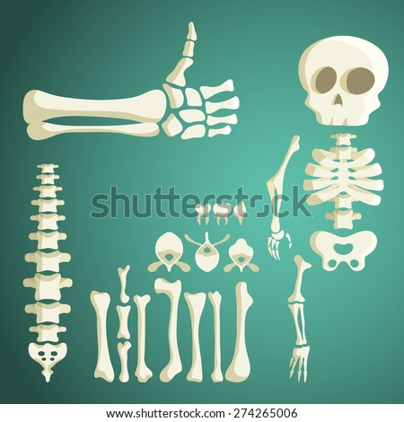set of vector human bones