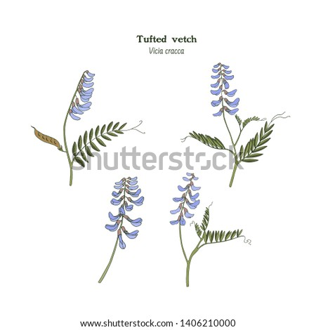 Set of vector illustrations of tufted vetch. Hand drawn colored botanical sketch. Vicia cracca.
