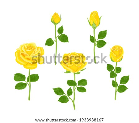 Set of yellow roses of different shapes. Vector illustration of blooming flowers and buds with stems and green leaves in cartoon flat style. Floral collection. Photo stock ©