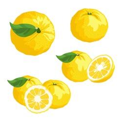 Set of Yuzu fruit on white background. Vector illustration