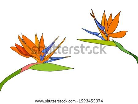 set two strelitzia reginae
