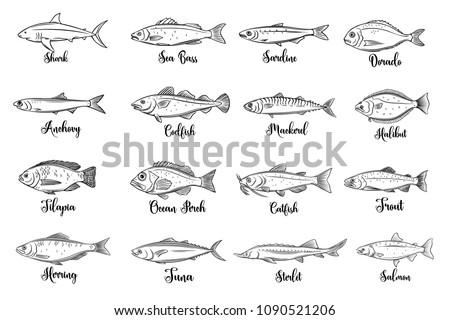 Set vector fish. Hand drawn seafood with bream, mackerel, tunny or sterlet, catfish, codfish and halibut. Cartoon icon tilapia, ocean perch, sardine, anchovy, sea bass and dorado. . Retro style