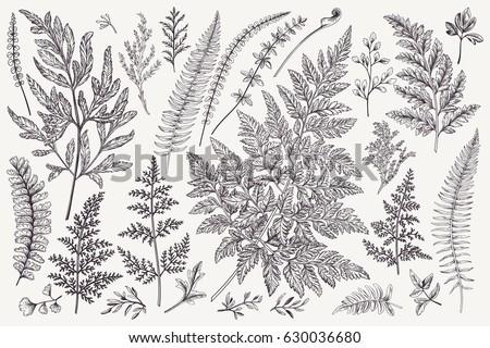 Set with leaves. Ferns.  Vector design elements. Black and white. Botanical illustration.