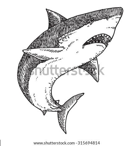 shark vector illustration