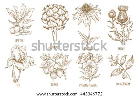 shea tree  echinacea  artichoke