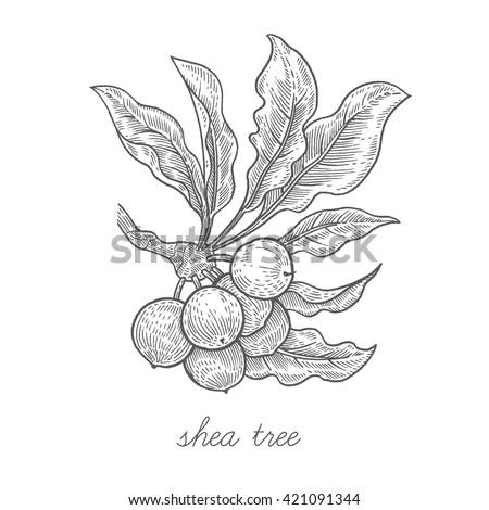 shea tree vector plant