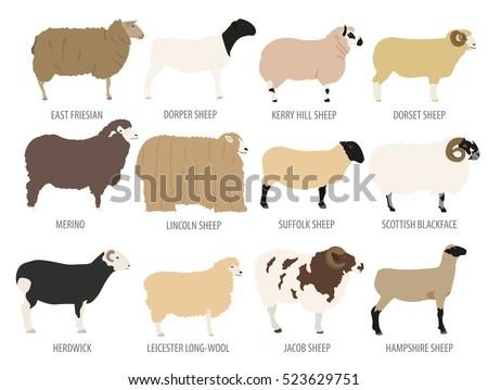 Sheep breed isolated icon set. Farm animal. Flat design. Vector illustration