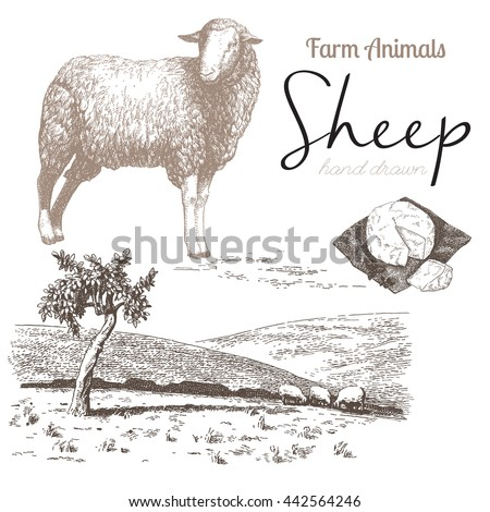 sheep 4. sheep breeding. set of ...