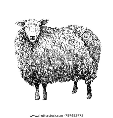 Sheep sketch style. Hand drawn illustration of beautiful black and white animal. Line art drawing in vintage style. Realistic image.