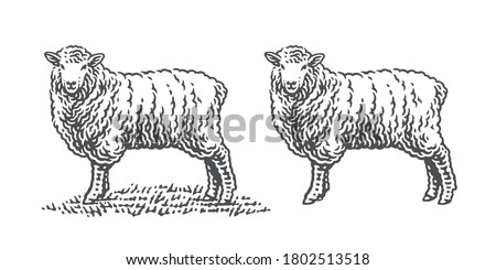 Sheep standing on a grass. Hand drawn engraving vintage style illustrations. Etched vector illustration. Foto stock ©