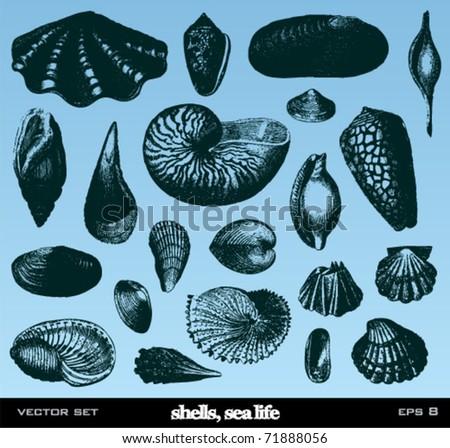 Shells set. Vintage vector illustrations.